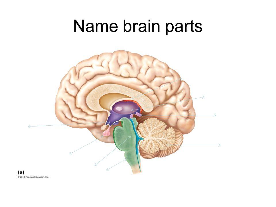 Name brain parts