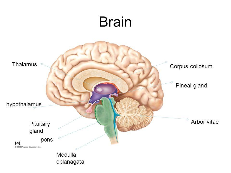 Brain Corpus collosum Thalamus hypothalamus Pituitary gland pons Medulla oblanagata Pineal gland Arbor vitae