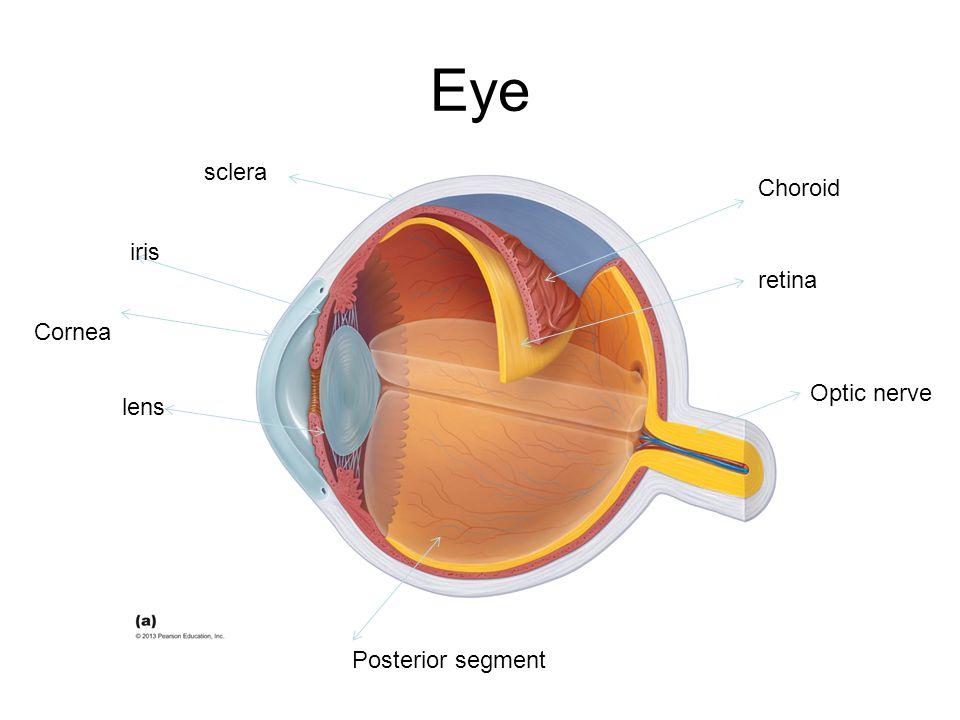 Eye sclera Choroid retina Optic nerve Posterior segment lens iris Cornea