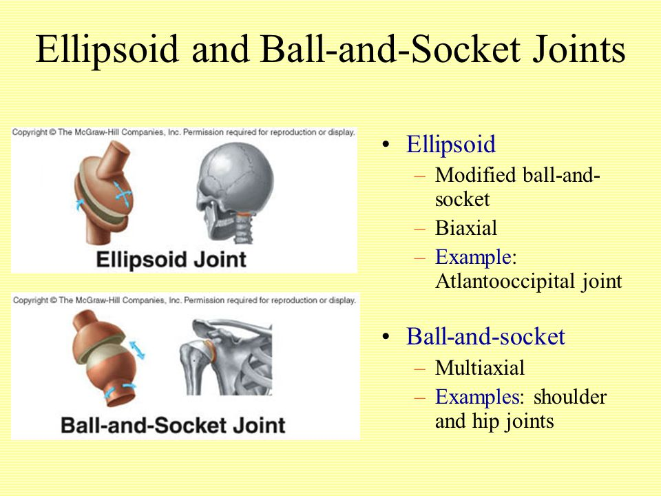 Ellipsoid and Ball-and-Socket Joints Ellipsoid –Modified ball-and- socket –Biaxial –Example: Atlantooccipital joint Ball-and-socket –Multiaxial –Examples: shoulder and hip joints
