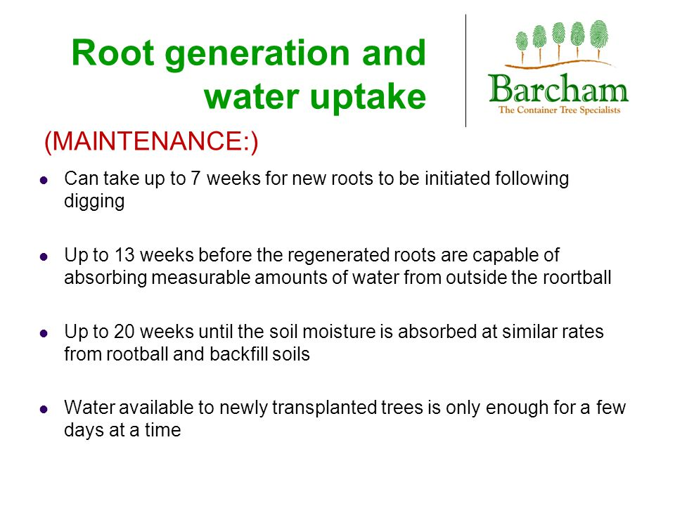 Root generation and water uptake Can take up to 7 weeks for new roots to be initiated following digging Up to 13 weeks before the regenerated roots are capable of absorbing measurable amounts of water from outside the roortball Up to 20 weeks until the soil moisture is absorbed at similar rates from rootball and backfill soils Water available to newly transplanted trees is only enough for a few days at a time (MAINTENANCE:)