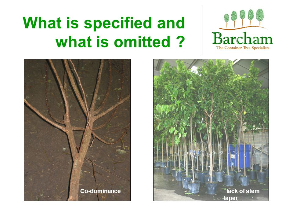 Stem taper Much nursery management is comparable to woodland management with trees closely spaced, elongated with little of no stem taper.