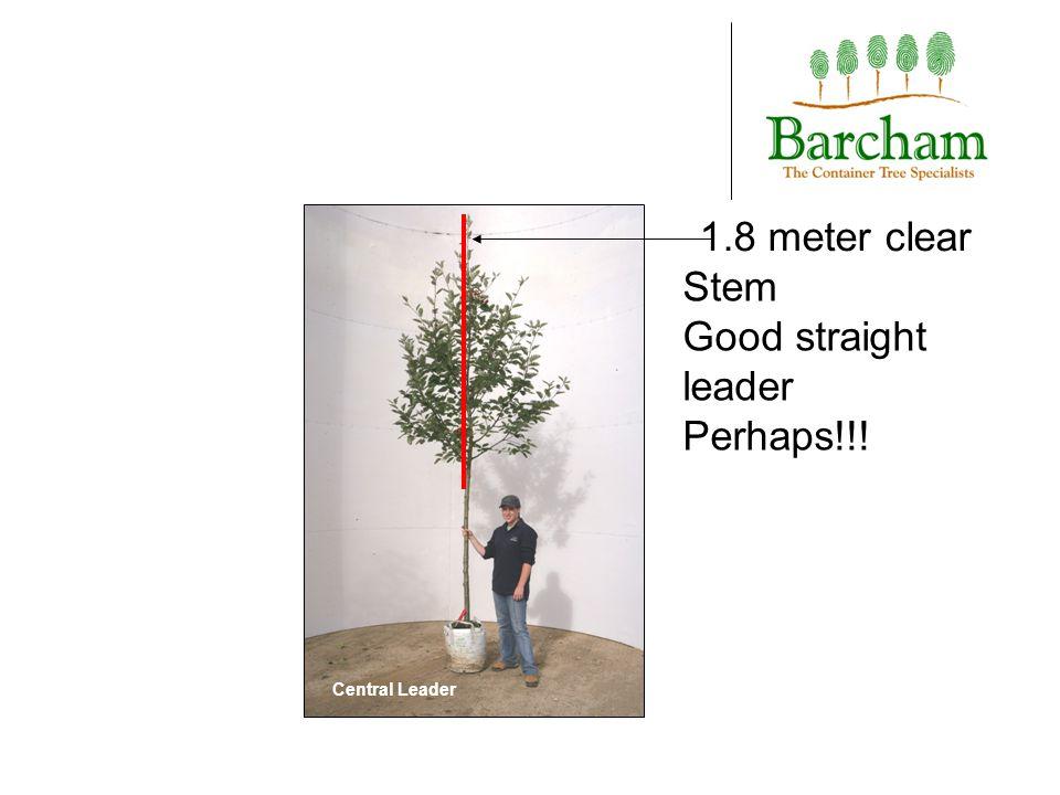 Stem taper Barcham Birch showing defined stem taper