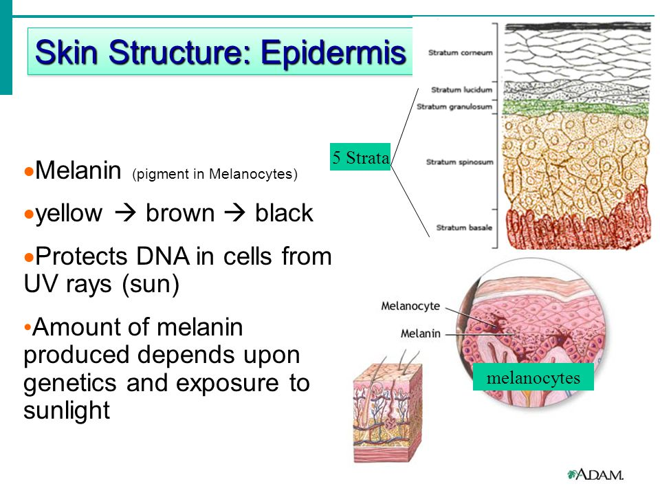  1. Epidermis  Avascular (no veins or arteries)  Keratinocytes (make protein for protection)  Melaninocytes (pigmented cells) Skin Structure: Epid