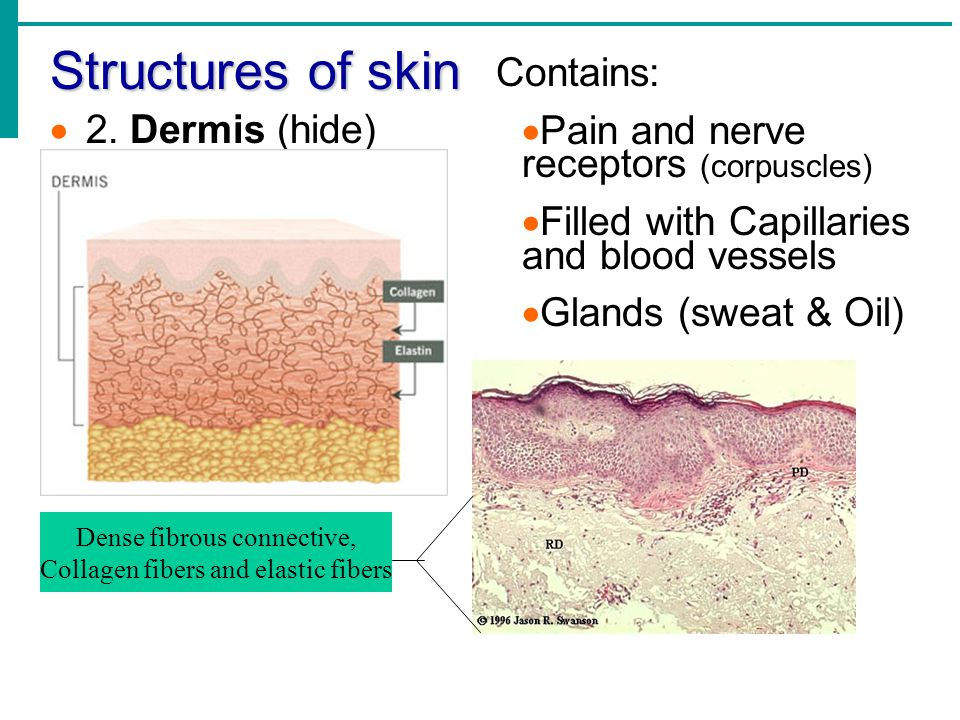 Skin Structure: Epidermis 5 Strata melanocytes MM elanin (pigment in Melanocytes) yy ellow  brown  black PP rotects DNA in cells from UV rays (sun) Amount of melanin produced depends upon genetics and exposure to sunlight