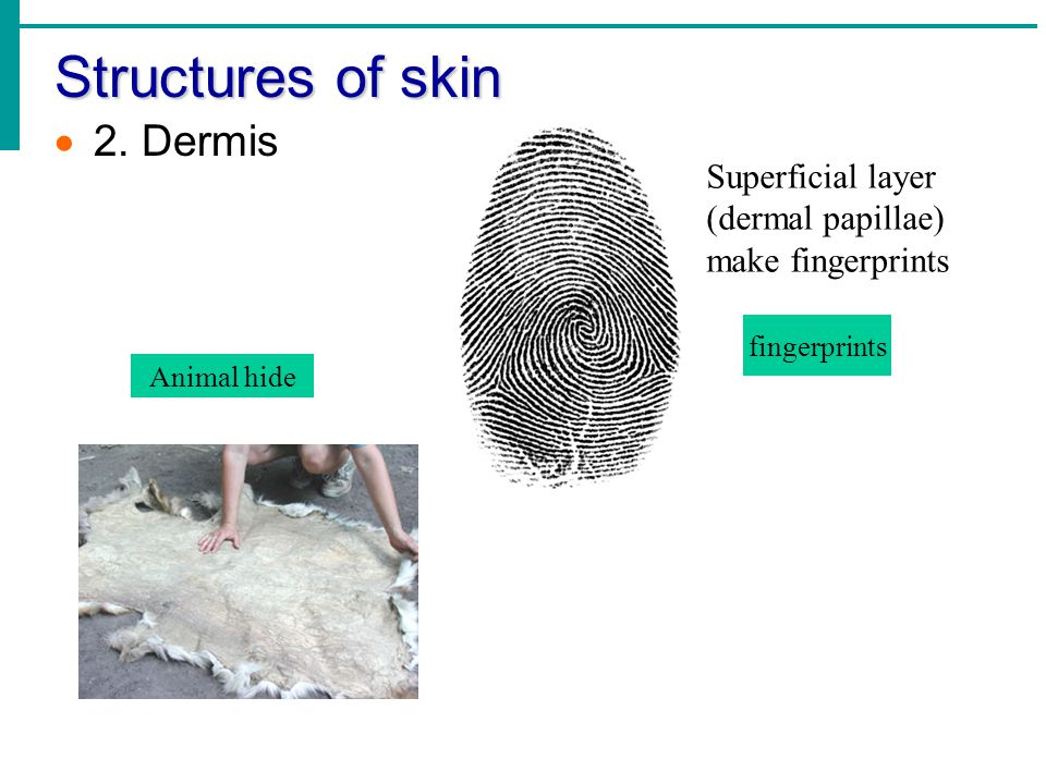 Structures of skin  2.