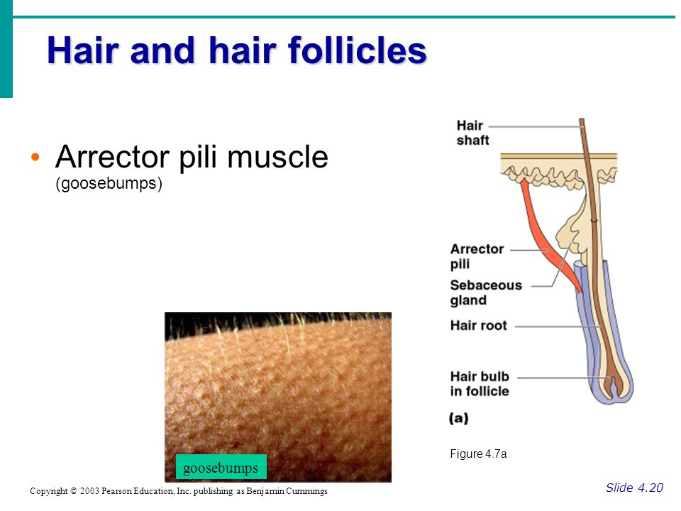 Hair and hair follicles Slide 4.18 Hair follicle Root & Shaft Made of keratinized epithelial cells (dead)  melanocytes (for color) melanocytes shaft