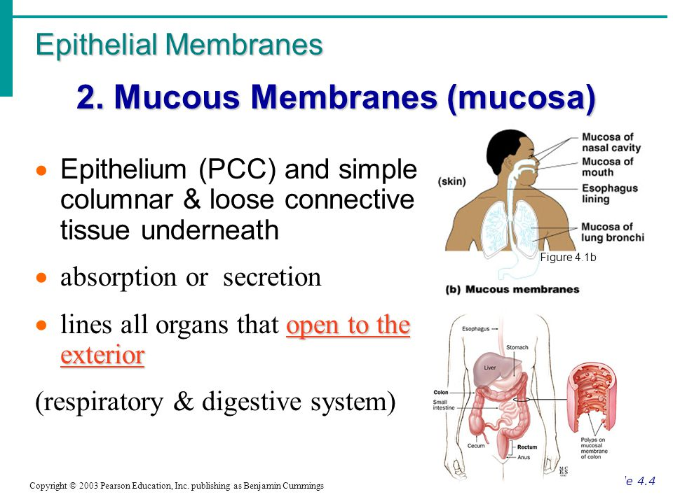 Epithelial membranes 1. Cutaneous Membrane ( 1.