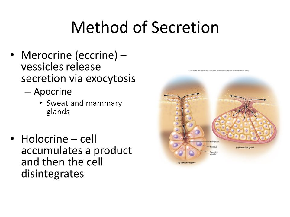 Method of Secretion Merocrine (eccrine) – vessicles release secretion via exocytosis – Apocrine Sweat and mammary glands Holocrine – cell accumulates a product and then the cell disintegrates