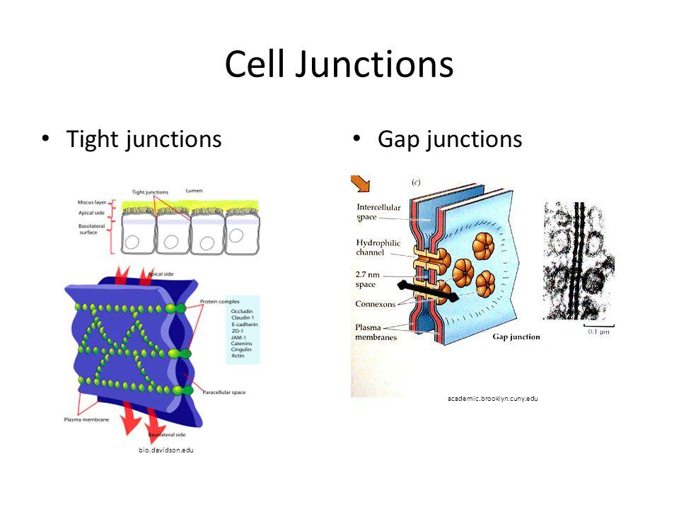 Cell Junctions Tight junctions Gap junctions bio.davidson.edu academic.brooklyn.cuny.edu