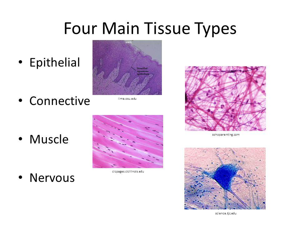 Four Main Tissue Types Epithelial Connective Muscle Nervous lima.osu.edu sohoparenting.com clcpages.clcillinois.edu science.tjc.edu