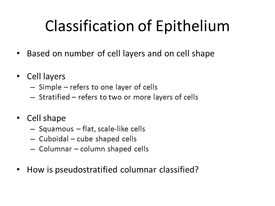 Simple Squamous Epithelium Thin and permeable – Found where rapid filtration and diffusion is desired Kidneys, lungs unm.edu
