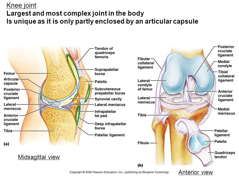 Knee joint Largest and most complex joint in the body Is unique as it is only partly enclosed by an articular capsule Midsagittal view Anterior view