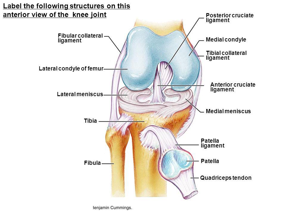 Fibular collateral ligament Lateral condyle of femur Fibula Tibia Lateral meniscus Quadriceps tendon Patella ligament Medial meniscus Anterior cruciat