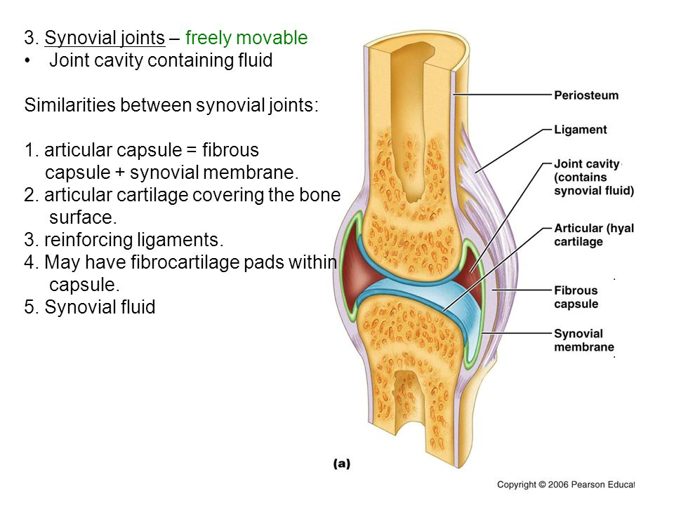 3. Synovial joints – freely movable Joint cavity containing fluid Similarities between synovial joints: 1. articular capsule = fibrous capsule + synov