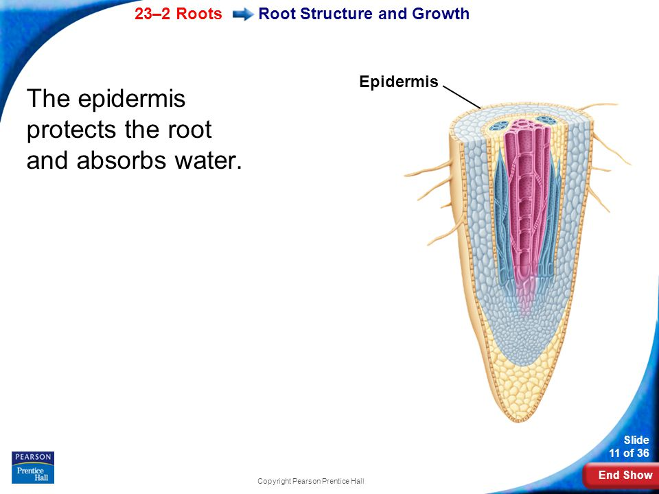 End Show 23–2 Roots Slide 11 of 36 Copyright Pearson Prentice Hall Root Structure and Growth The epidermis protects the root and absorbs water.