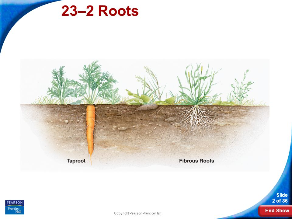 End Show 23–2 Roots Slide 23 of 36 Copyright Pearson Prentice Hall Root Functions The high concentration of mineral ions in the plant cells causes water molecules to move into the plant by osmosis.