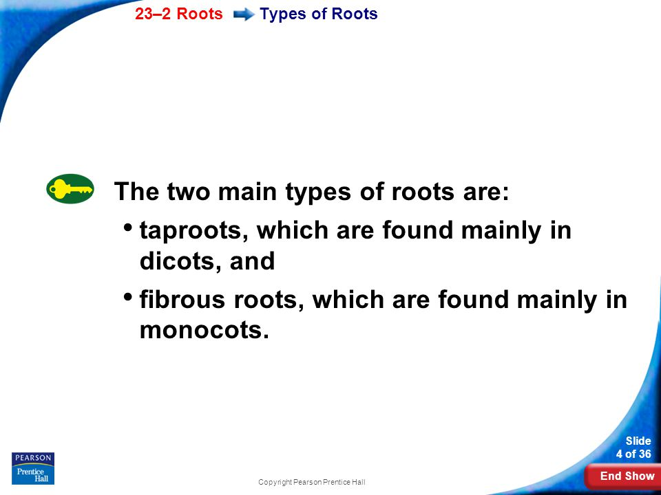 End Show 23–2 Roots Slide 5 of 36 Copyright Pearson Prentice Hall In some plants, the primary root grows long and thick.