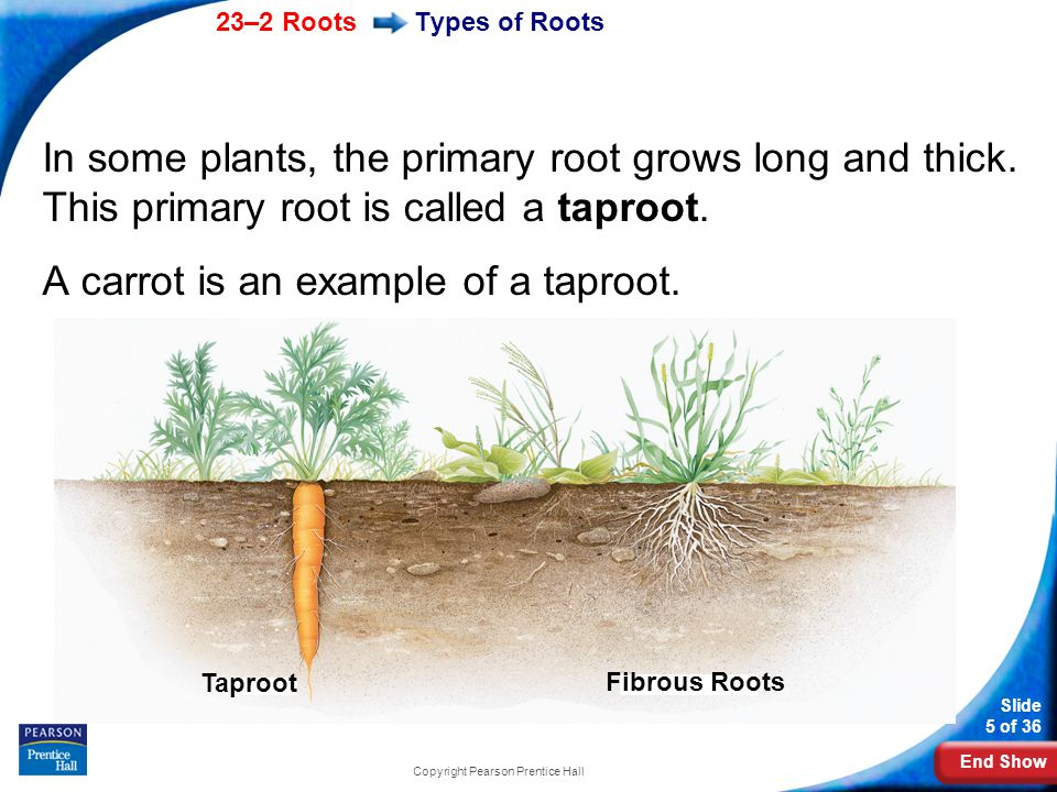 End Show 23–2 Roots Slide 16 of 36 Copyright Pearson Prentice Hall Root Structure and Growth These new cells are covered by the root cap that protects the root as it forces its way through the soil.