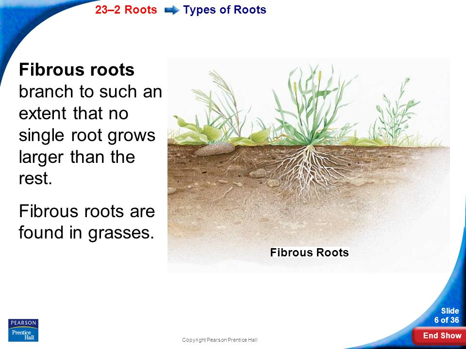 End Show 23–2 Roots Slide 6 of 36 Copyright Pearson Prentice Hall Fibrous roots branch to such an extent that no single root grows larger than the rest.