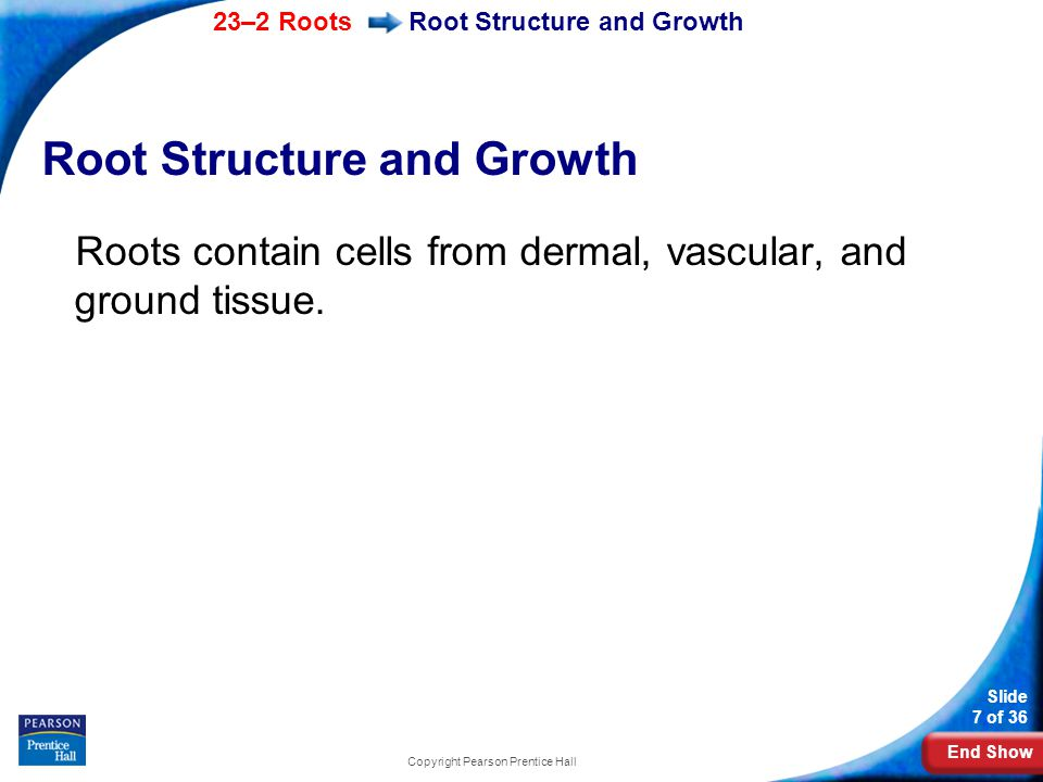 End Show 23–2 Roots Slide 8 of 36 Copyright Pearson Prentice Hall Root Structure and Growth What are the main tissues in a mature root?