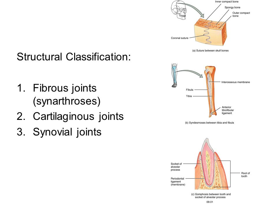 Structural Classification: 1.Fibrous joints (synarthroses) 2.Cartilaginous joints 3.Synovial joints