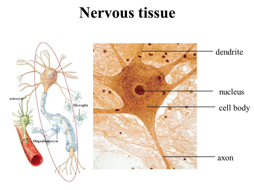 Nervous tissue dendrite nucleus cell body axon astrocyte Oligodendrocyte Microglia
