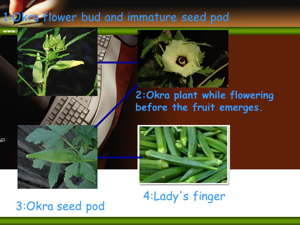www.themegallery.com 1:Okra flower bud and immature seed pod 3:Okra seed pod 2:Okra plant while flowering before the fruit emerges. 4:Lady's finger