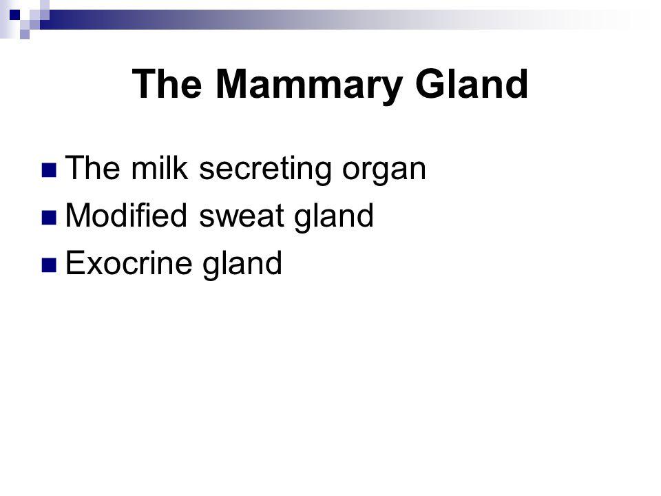 The Mammary Gland The milk secreting organ Modified sweat gland Exocrine gland