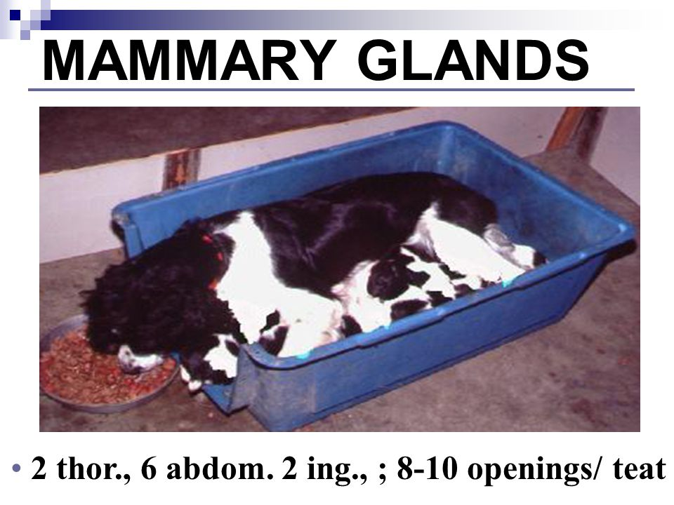 MAMMARY GLANDS 4 thor., 2 abdom. 4 ing., ; 1 opening/ teat