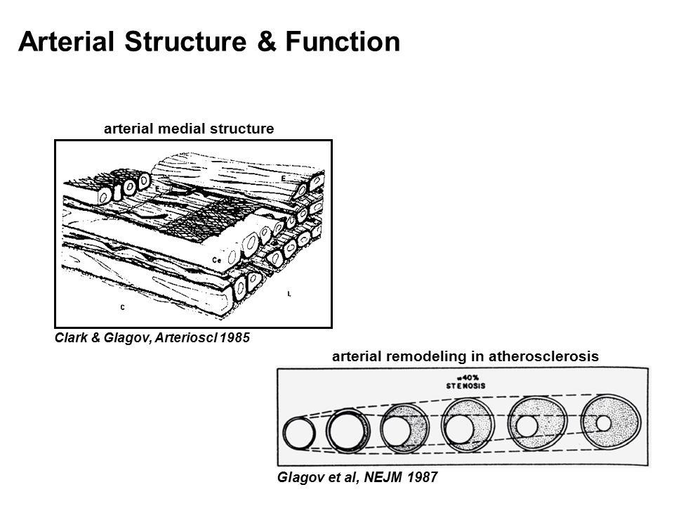 Arterial Structure & Function arterial medial structure Clark & Glagov, Arterioscl 1985 Glagov et al, NEJM 1987 arterial remodeling in atherosclerosis