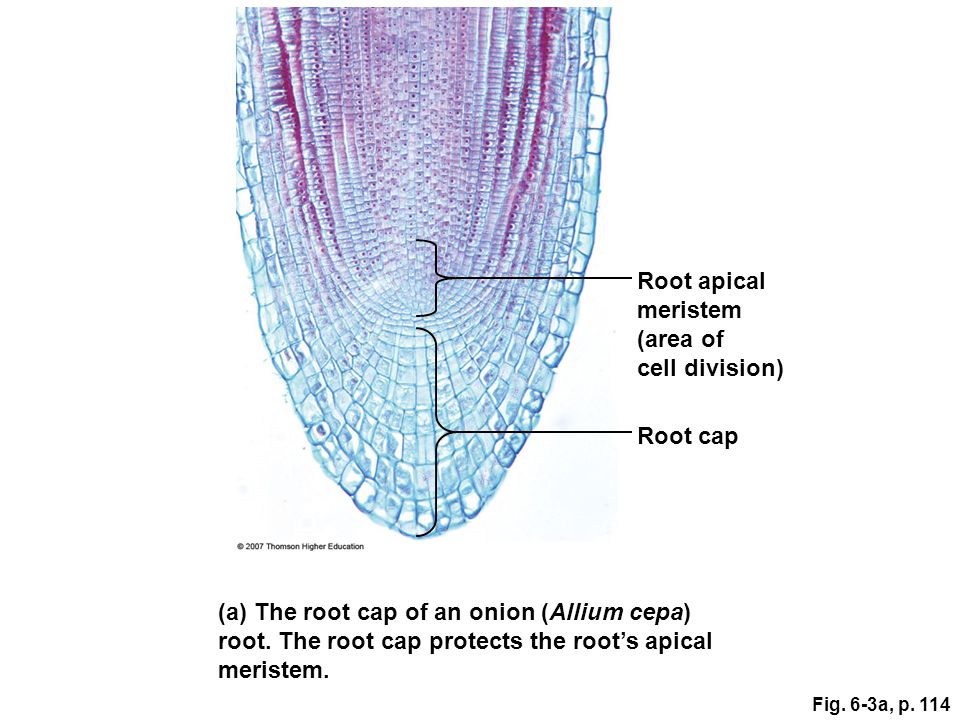Root apical meristem (area of cell division) Root cap (a) The root cap of an onion (Allium cepa) root. The root cap protects the root's apical meriste