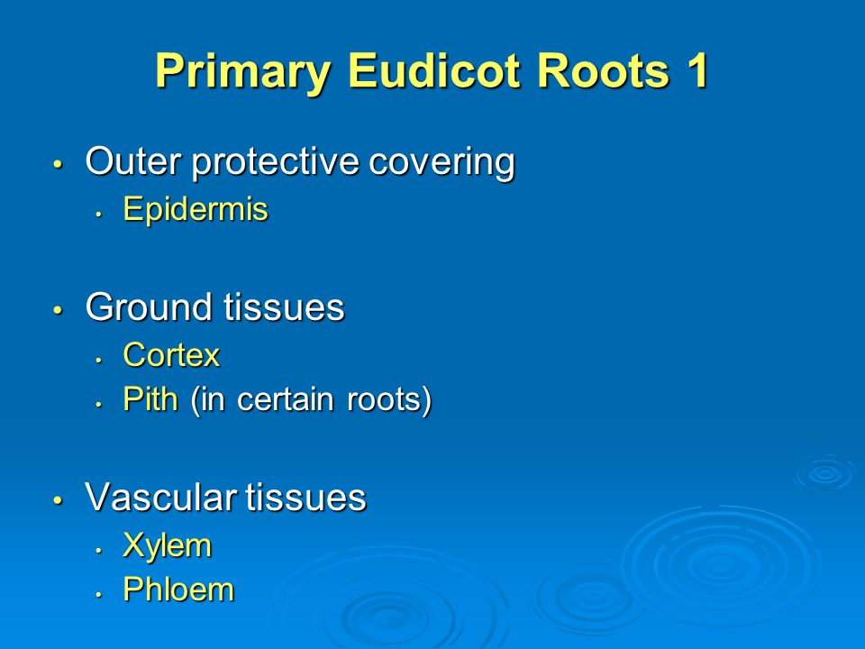Primary Eudicot Roots 1 Outer protective covering Outer protective covering Epidermis Epidermis Ground tissues Ground tissues Cortex Cortex Pith (in c