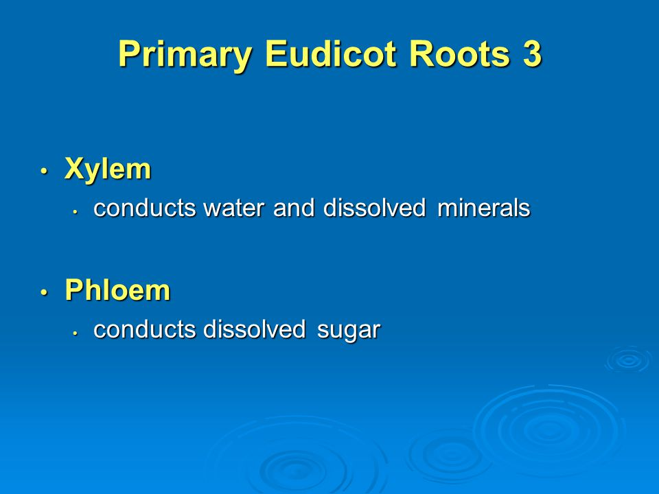 Primary Eudicot Roots 3 Xylem Xylem conducts water and dissolved minerals conducts water and dissolved minerals Phloem Phloem conducts dissolved sugar