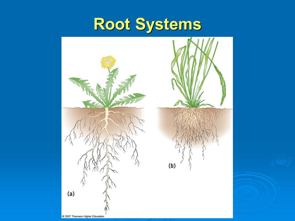 Primary Eudicot Roots 3 Xylem Xylem conducts water and dissolved minerals conducts water and dissolved minerals Phloem Phloem conducts dissolved sugar conducts dissolved sugar