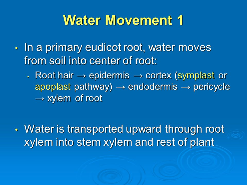 Water Movement 1 In a primary eudicot root, water moves from soil into center of root: In a primary eudicot root, water moves from soil into center of