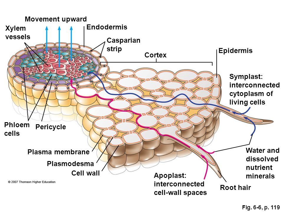 Xylem vessels Phloem cells Pericycle Plasma membrane Plasmodesma Cell wall Apoplast: interconnected cell-wall spaces Root hair Water and dissolved nut