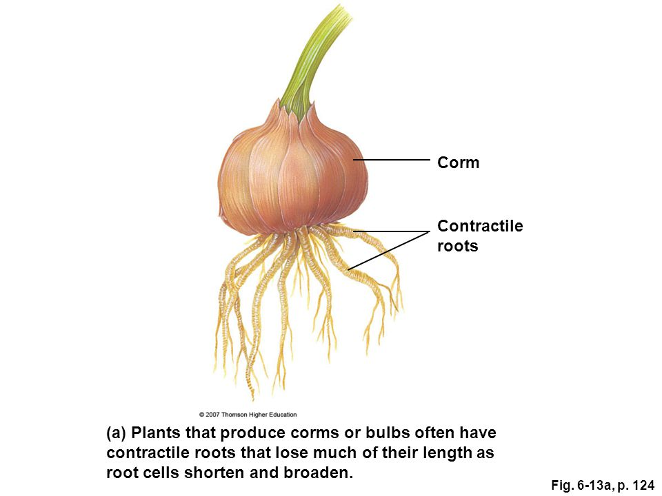 (a) Plants that produce corms or bulbs often have contractile roots that lose much of their length as root cells shorten and broaden. Contractile root