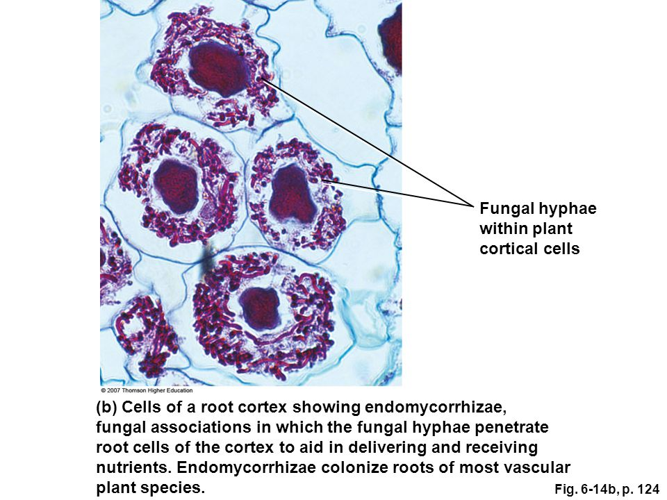 Fungal hyphae within plant cortical cells (b) Cells of a root cortex showing endomycorrhizae, fungal associations in which the fungal hyphae penetrate