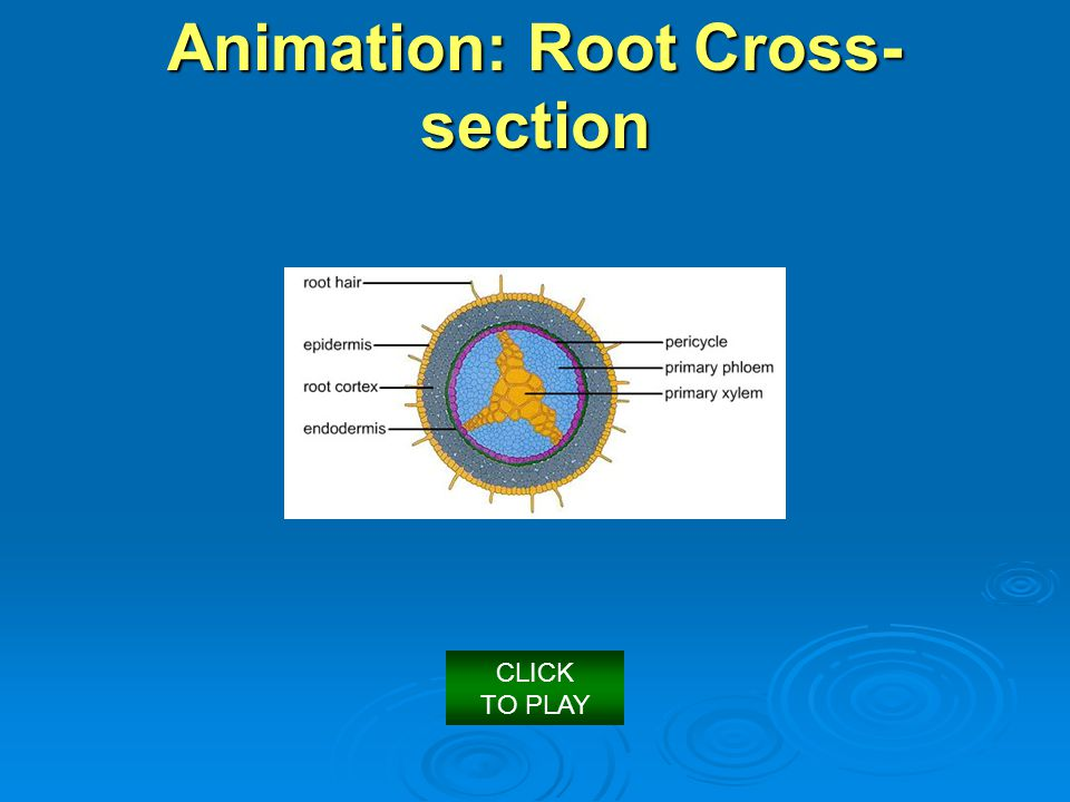 Root Animation: Root Cross- section CLICK TO PLAY
