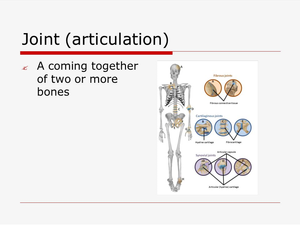 Joint (articulation)  A coming together of two or more bones