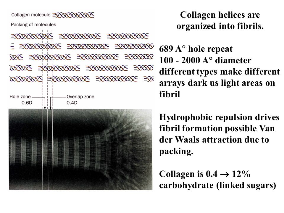 Collagen helices are organized into fibrils.