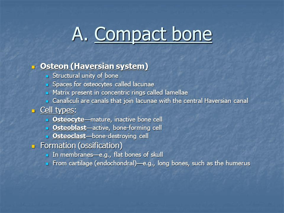 A. Compact bone Osteon (Haversian system) Osteon (Haversian system) Structural unity of bone Structural unity of bone Spaces for osteocytes called lac