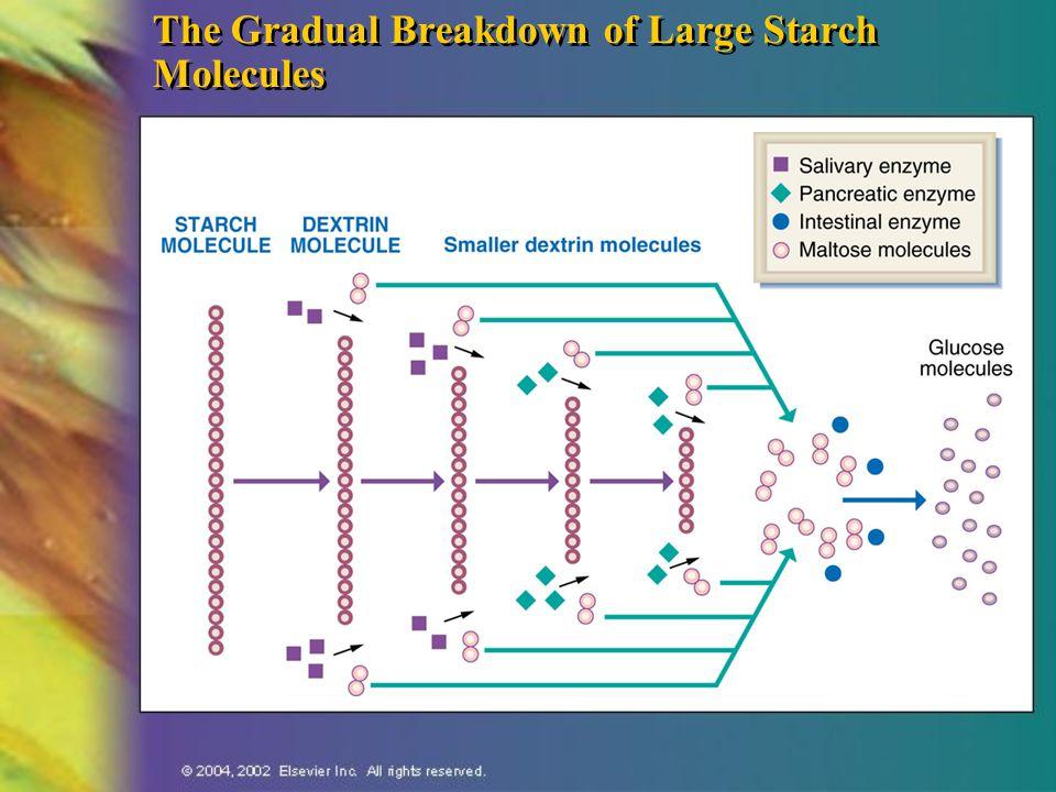 The Gradual Breakdown of Large Starch Molecules