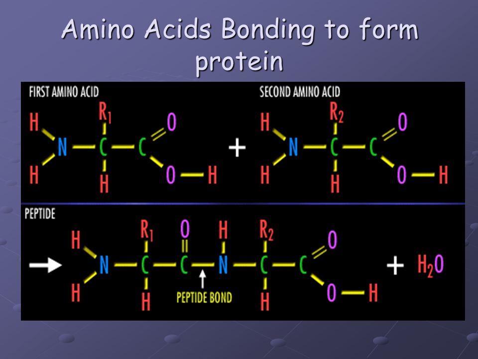 Amino Acids Bonding to form protein