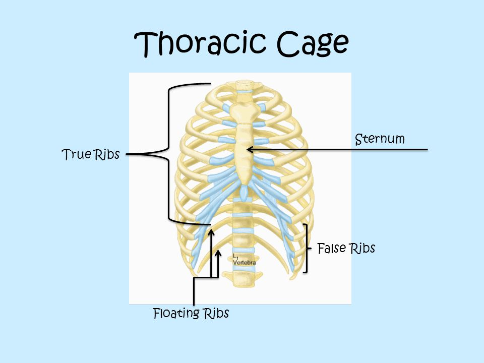Thoracic Cage Sternum True Ribs False Ribs Floating Ribs