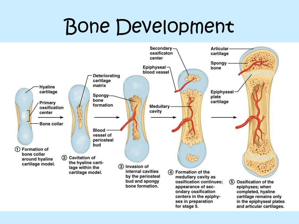 Bone Development Diagram