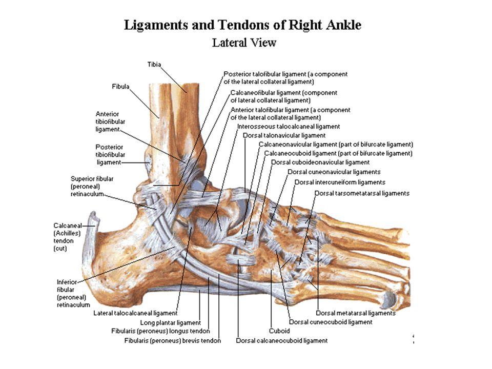 Types of Joints ellipsoidal