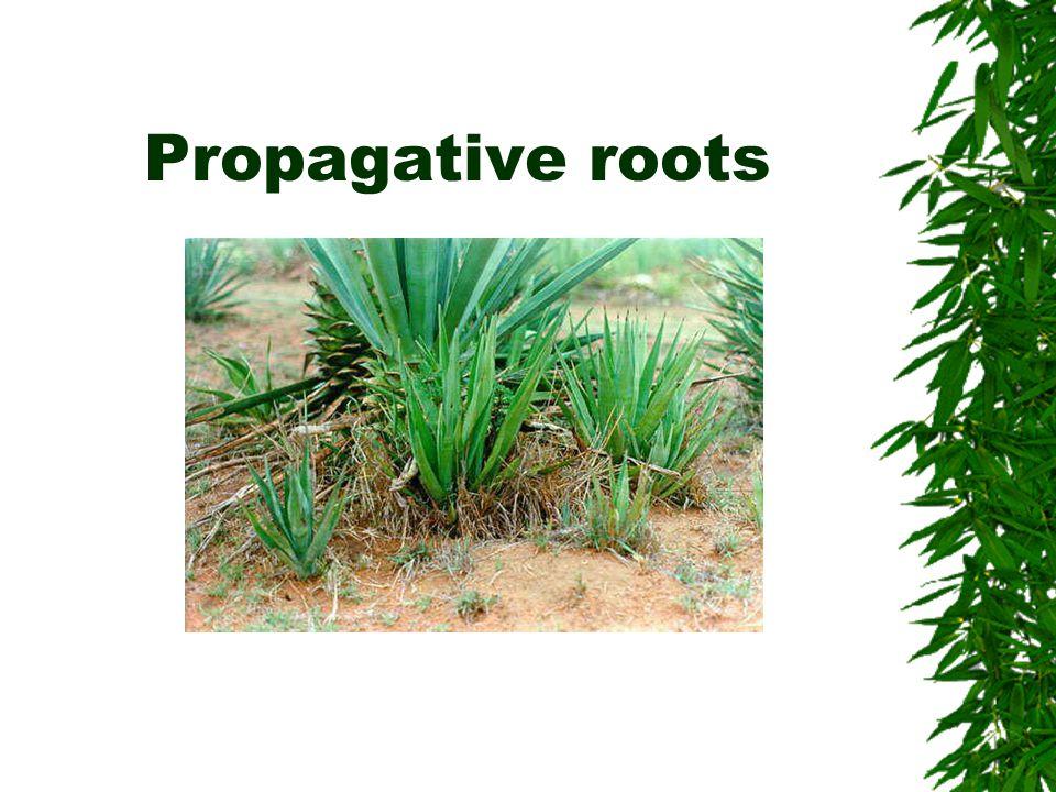 Propagative roots