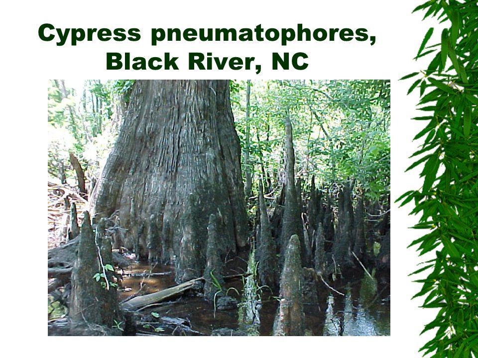 Cypress pneumatophores, Black River, NC